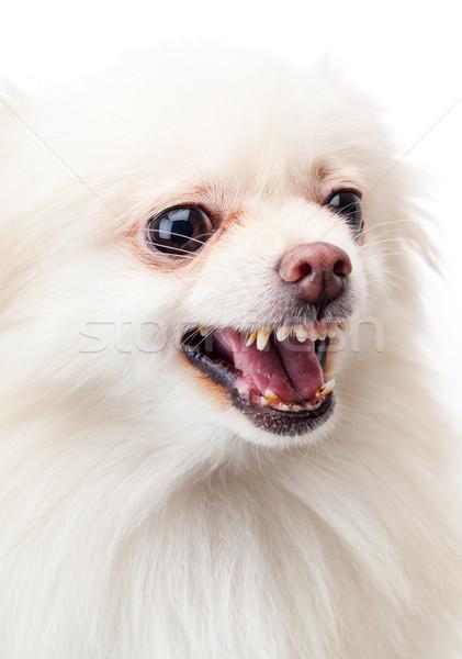White pomeranian angry barking Stock photo © leungchopan