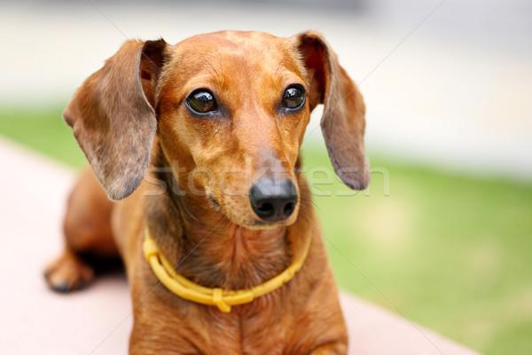 Tacskó kutya fű fiatal állat legelő Stock fotó © leungchopan