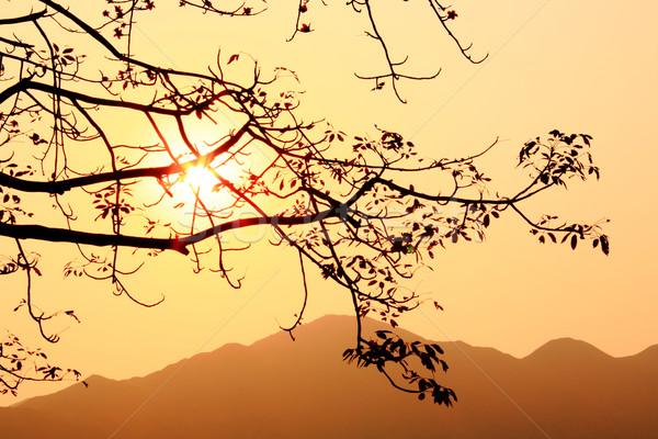 sunset and tree, bombax ceiba, silhouette Stock photo © leungchopan