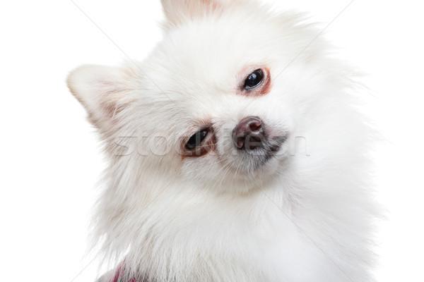 álmos fehér kutya háttér kutyakölyök édes Stock fotó © leungchopan