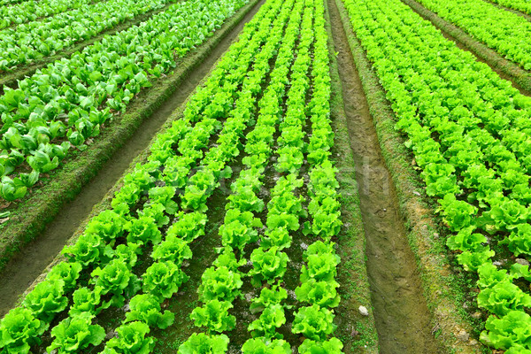 Rows of freshly planted lettuce Stock photo © leungchopan