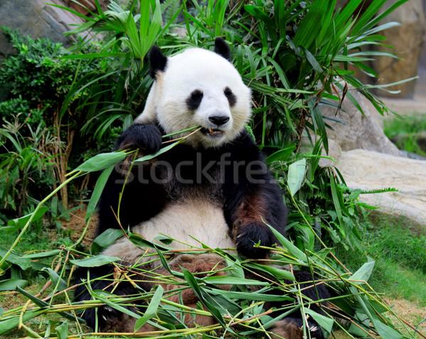 Giant panda eating bamboo Stock photo © leungchopan