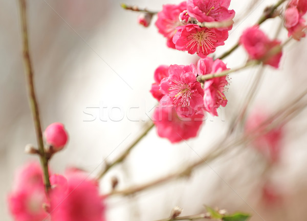 Stock photo: cherry blossoms for chinese new year