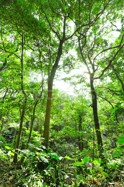 Fresh green forest with sunbeams Stock photo © leungchopan