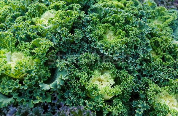 Fresh lettuce texture  Stock photo © leungchopan