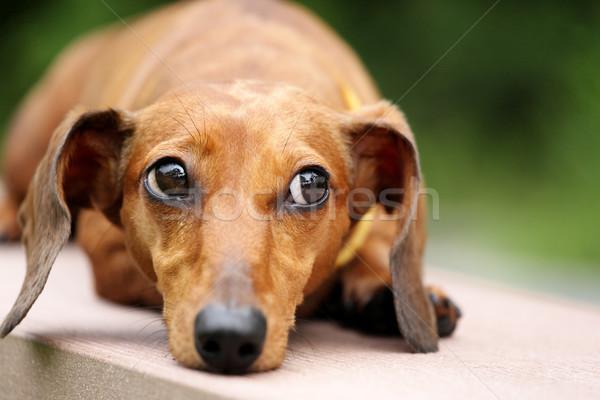Dachshund perro parque hierba jóvenes animales Foto stock © leungchopan
