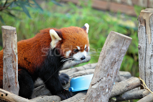 red panda Stock photo © leungchopan