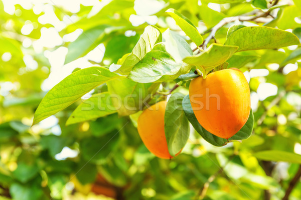Persimmon tree Stock photo © leungchopan