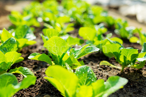 lettuce plant in field  Stock photo © leungchopan