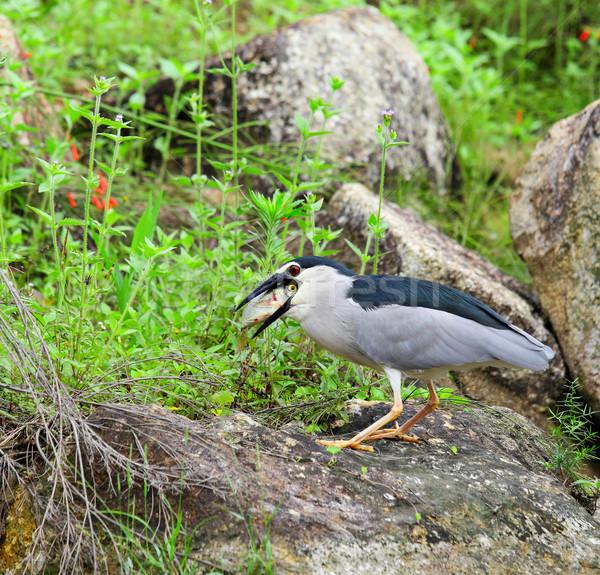 Madár eszik hal víz étel természet Stock fotó © leungchopan