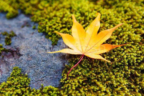 Yellow maple leaves on moss Stock photo © leungchopan