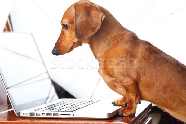 Kutya laptopot használ számítógép internet technológia billentyűzet Stock fotó © leungchopan