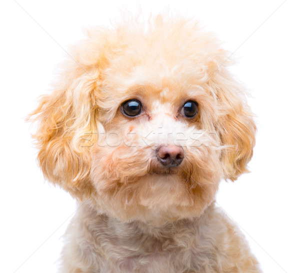 Brown poodle isolated Stock photo © leungchopan