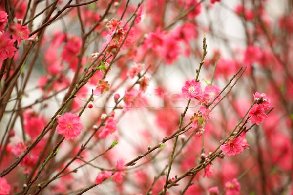 Ciliegio albero primavera frutta sfondo japan for Albero ciliegio