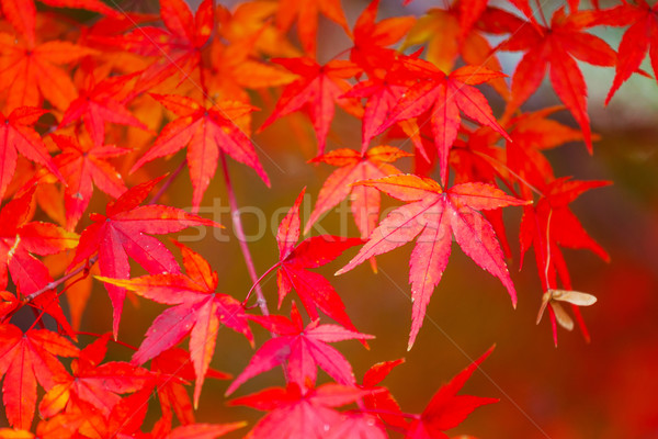 Red maple tree Stock photo © leungchopan
