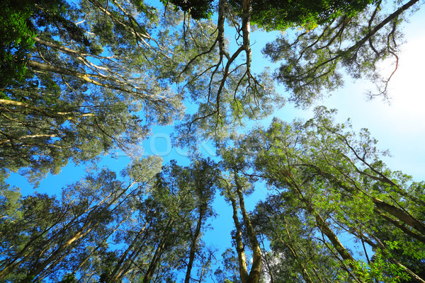 Tree canopy Stock photo © leungchopan