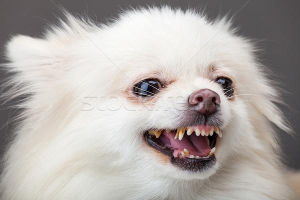 Pomeranian bark Stock photo © leungchopan