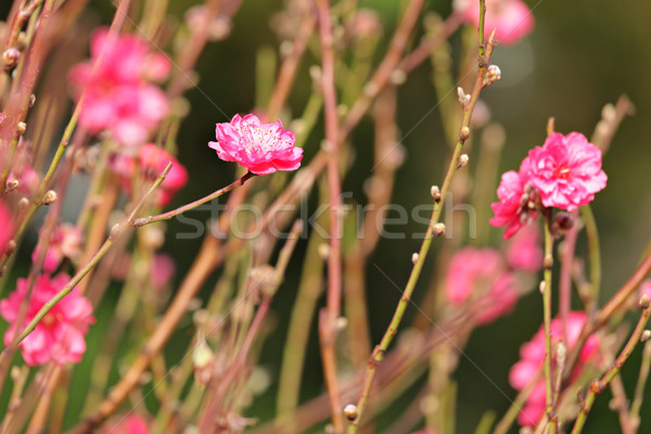 peach blossom , decoration flower for chinese new year Stock photo © leungchopan