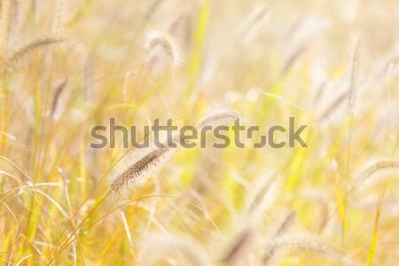 Reed and sunlight Stock photo © leungchopan