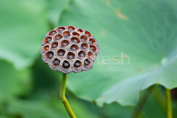 Lotus Pod Stock photo © leungchopan