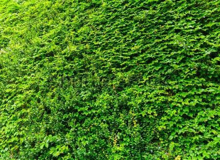 Verde hiedra planta pared Foto stock © leungchopan