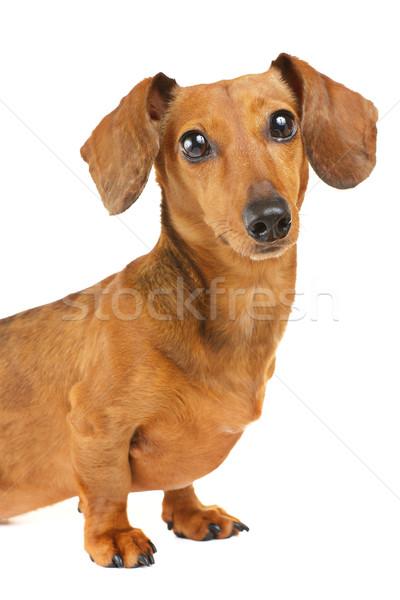 Stockfoto: Teckel · hond · portret