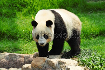 two panda playing Stock photo © leungchopan