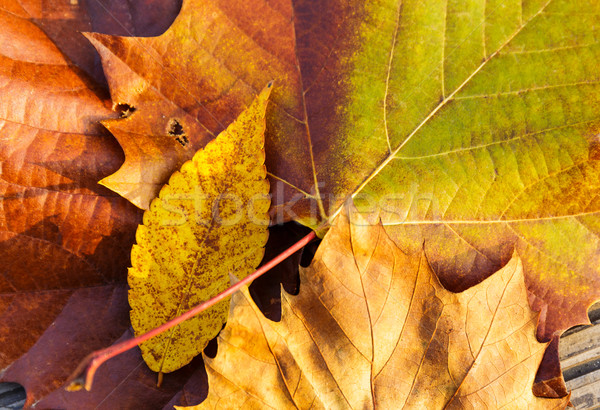 Maple leave Stock photo © leungchopan