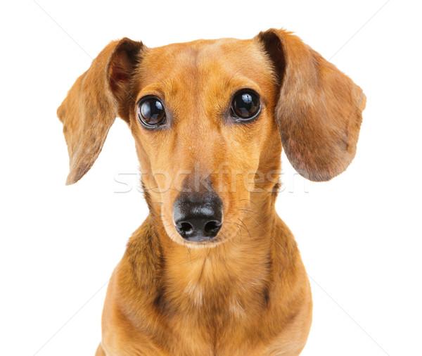 Stockfoto: Teckel · hond · puppy · huisdier