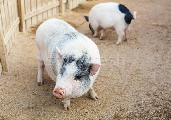 Pig Stock photo © leungchopan