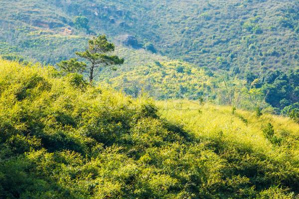сосна горные дерево весны трава лес Сток-фото © leungchopan
