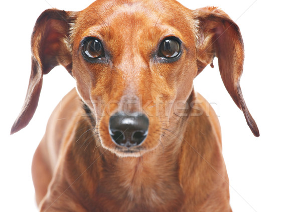 dachshund look at you Stock photo © leungchopan