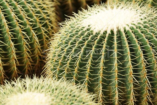 Cactus design feuille jardin désert Photo stock © leungchopan