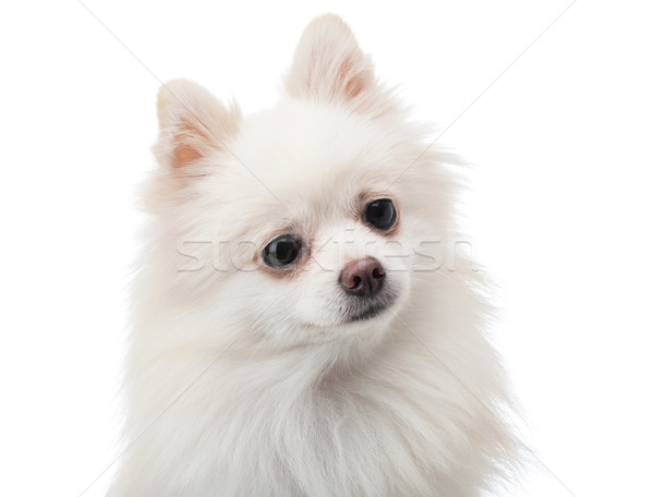 White pomeranian feeling curiosity Stock photo © leungchopan