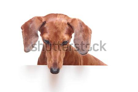 Teckel chien regardant vers le bas visage fond portrait Photo stock © leungchopan
