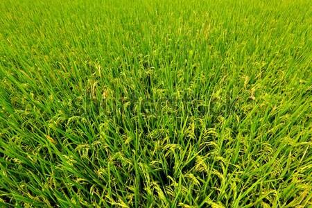 Rijstveld water gras blad achtergrond zomer Stockfoto © leungchopan