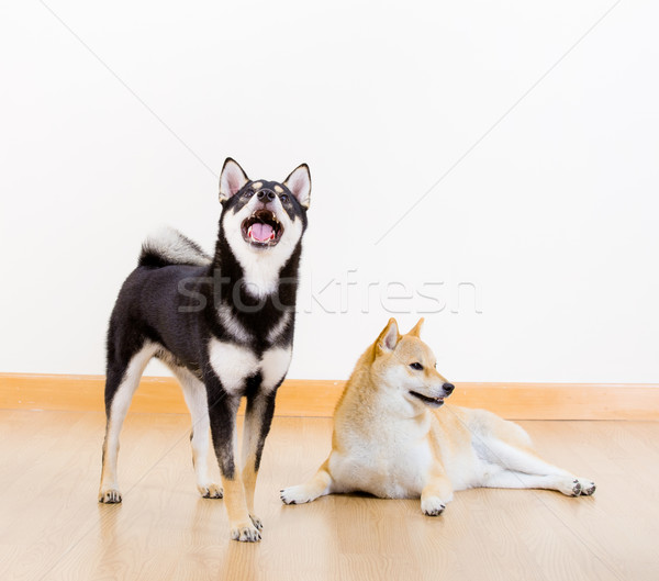 Two shiba inu dog at home Stock photo © leungchopan