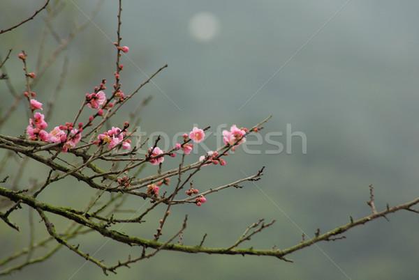 sakura japanese cherry blossoms Stock photo © leungchopan