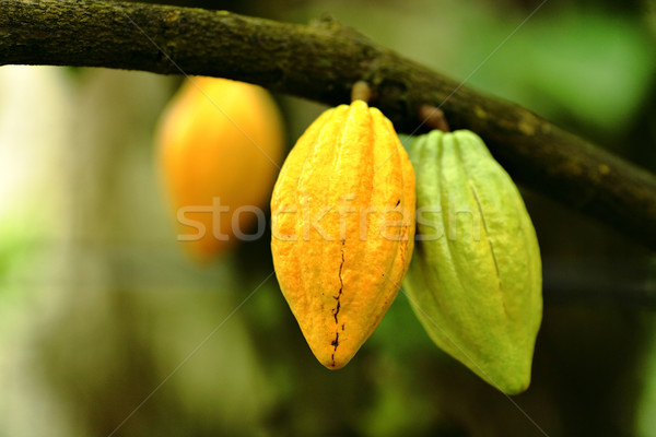 Cocoa pods Stock photo © leungchopan