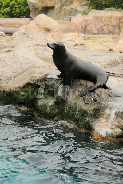 sea lion Stock photo © leungchopan