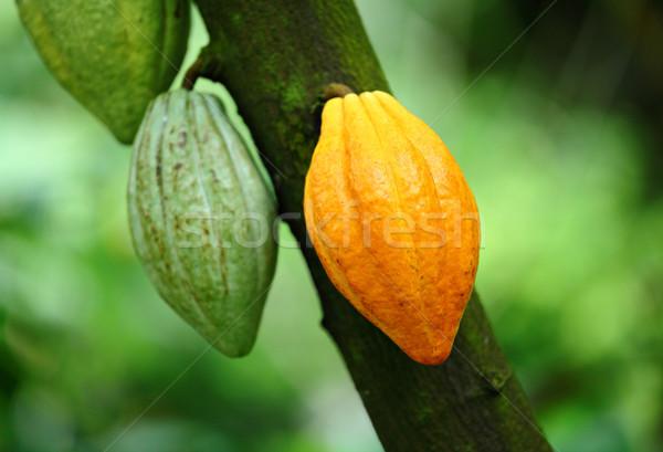Vaina alimentos frutas chocolate planta selva Foto stock © leungchopan