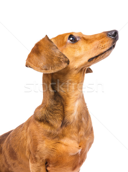 Dachshund Dog looking at a side Stock photo © leungchopan