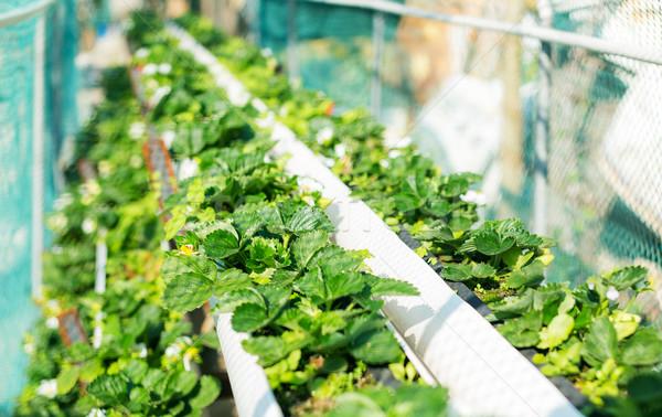 Organic hydroponic strawberry field Stock photo © leungchopan