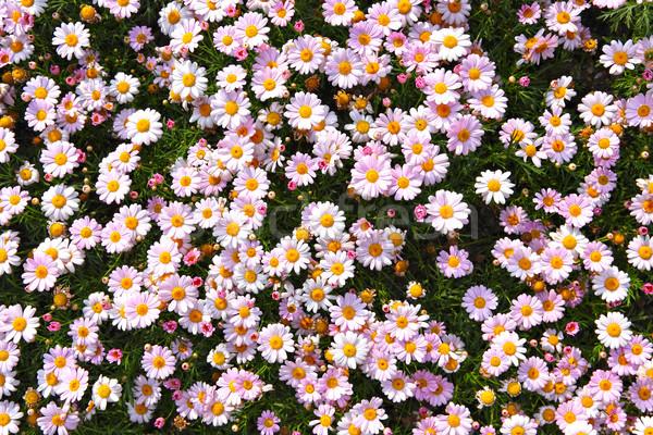Champ de fleurs ciel printemps nature beauté domaine Photo stock © leungchopan