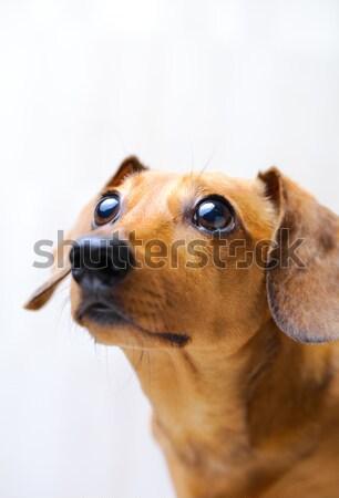 такса собака глядя сторона Сток-фото © leungchopan