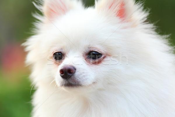 pomeranian dog Stock photo © leungchopan