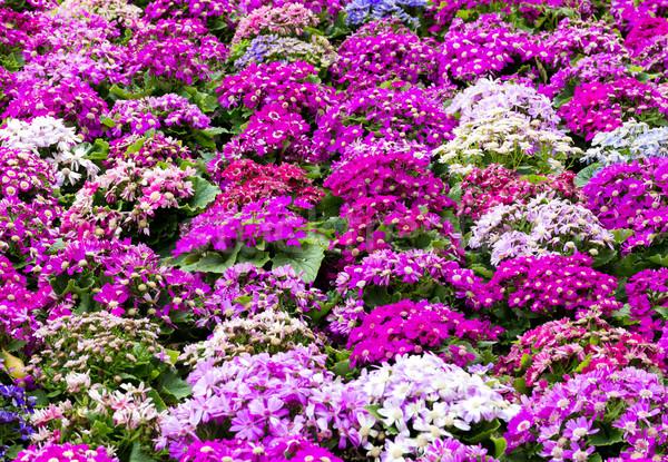 Melez çiçek bahar yaprak güzellik yaz Stok fotoğraf © leungchopan