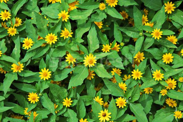 yellow chrysanthemum flowers Stock photo © leungchopan