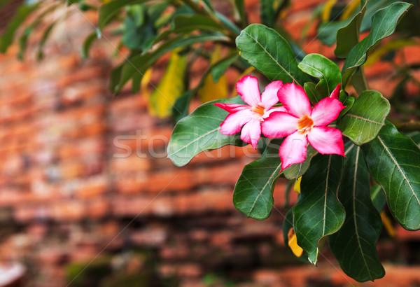 ピンクの花 古い 赤 レンガの壁 花 建物 ストックフォト © leungchopan