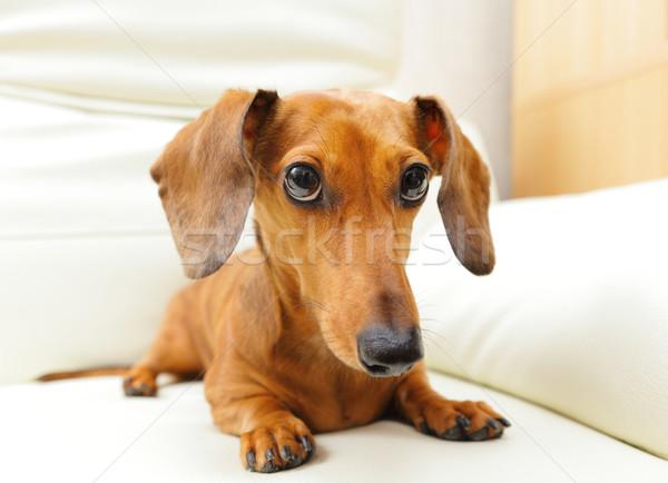 Сток-фото: такса · собака · диван · танцы · животного · друга